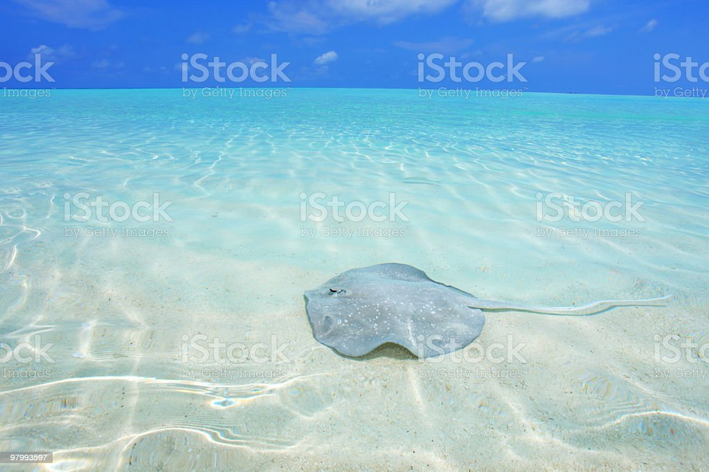 Shock fish in the sea. royalty-free stock photo