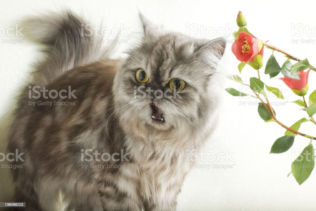 Shocked cat stock photo