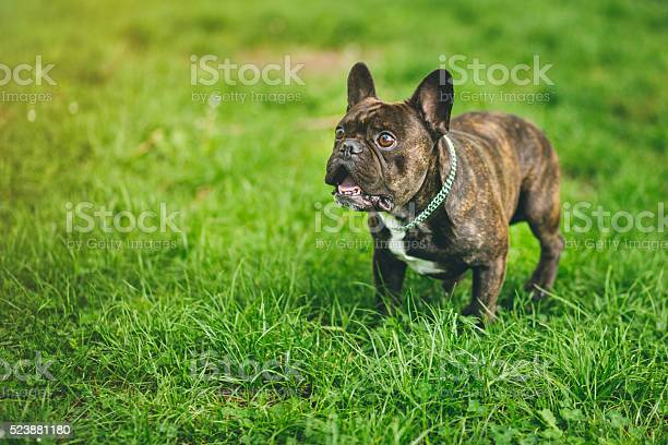Shocked french bulldog with open mouth and big eyes picture id523881180?b=1&k=6&m=523881180&s=612x612&h=vk o95vmowg dckhzgogoe3aysa8vha7vz6ilrhmuhu=