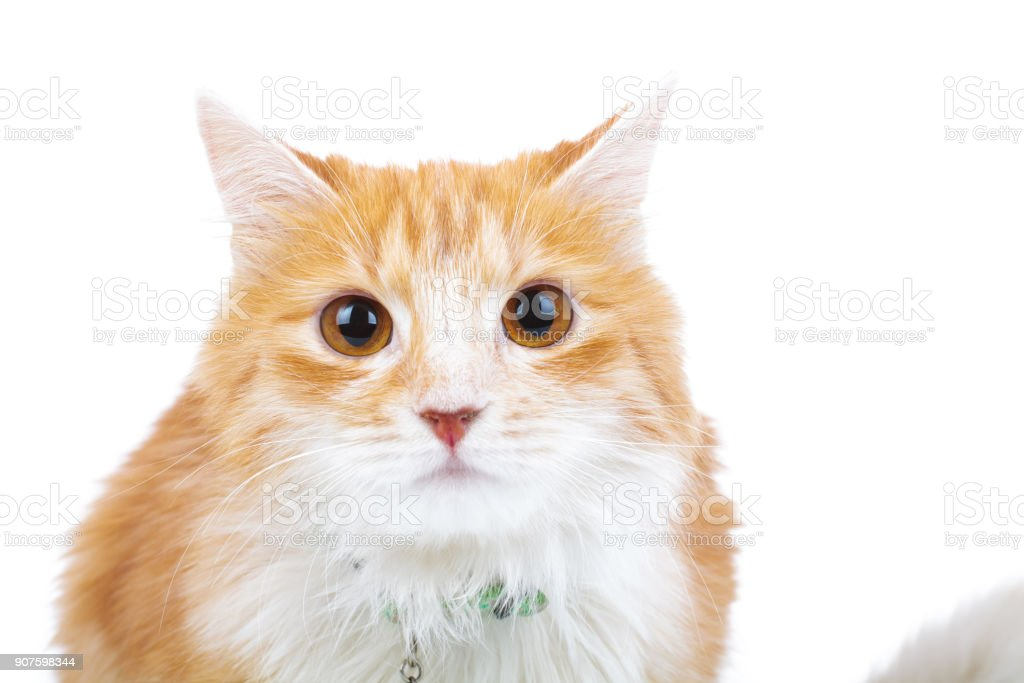 shocked red cat looks at the camera stock photo