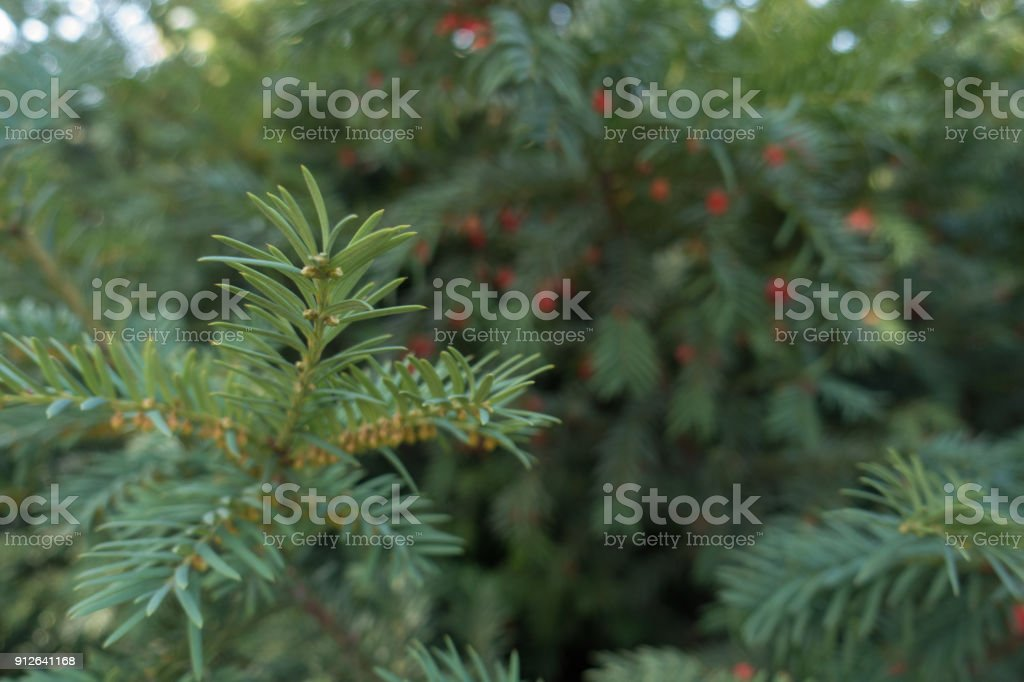 Shoot of English yew in mid autumn stock photo