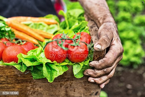 Close up of old man's hands holding a crate full of fresh vegetables-carrot, tomato, parsley and lettuce. Field with lettuce on background. Focus on foreground.