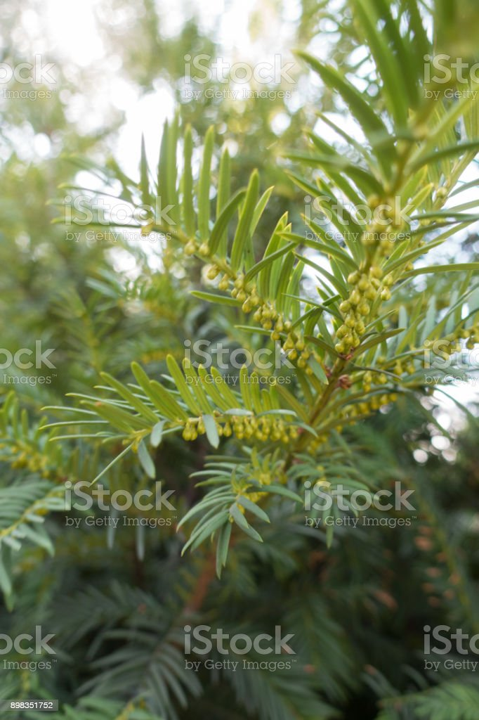 Shoot of yew with leaves and immature male cones stock photo