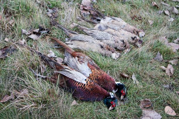 Shooted pheasant on the grass stock photo