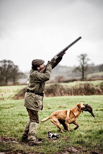 Shooting duck, gundog retrieves stock photo