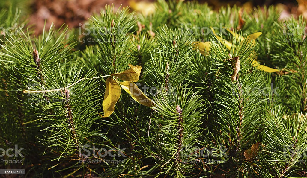 shoots mountain spruce royalty-free stock photo