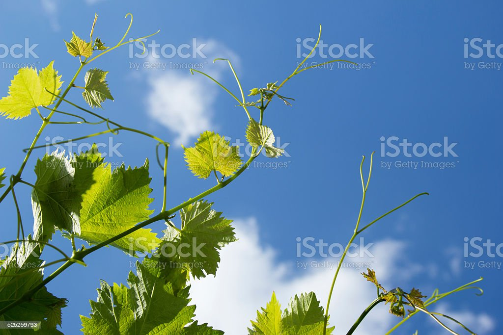 Shoots of grapes on a background of blue sky stock photo