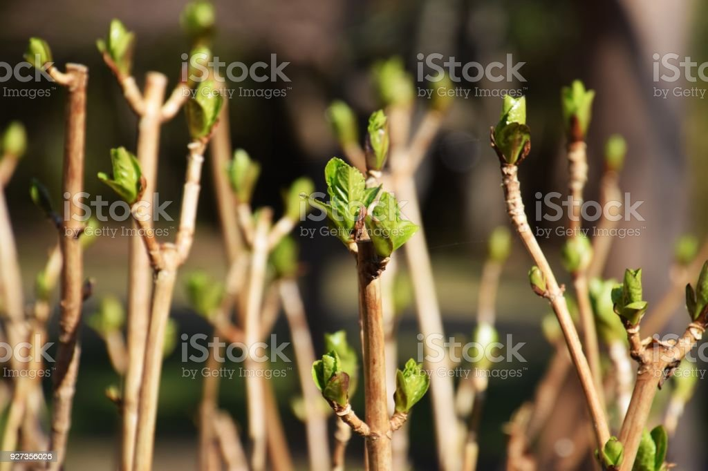 Shoots of hydrangea Fresh green shoots of hydrangea Beauty Stock Photo