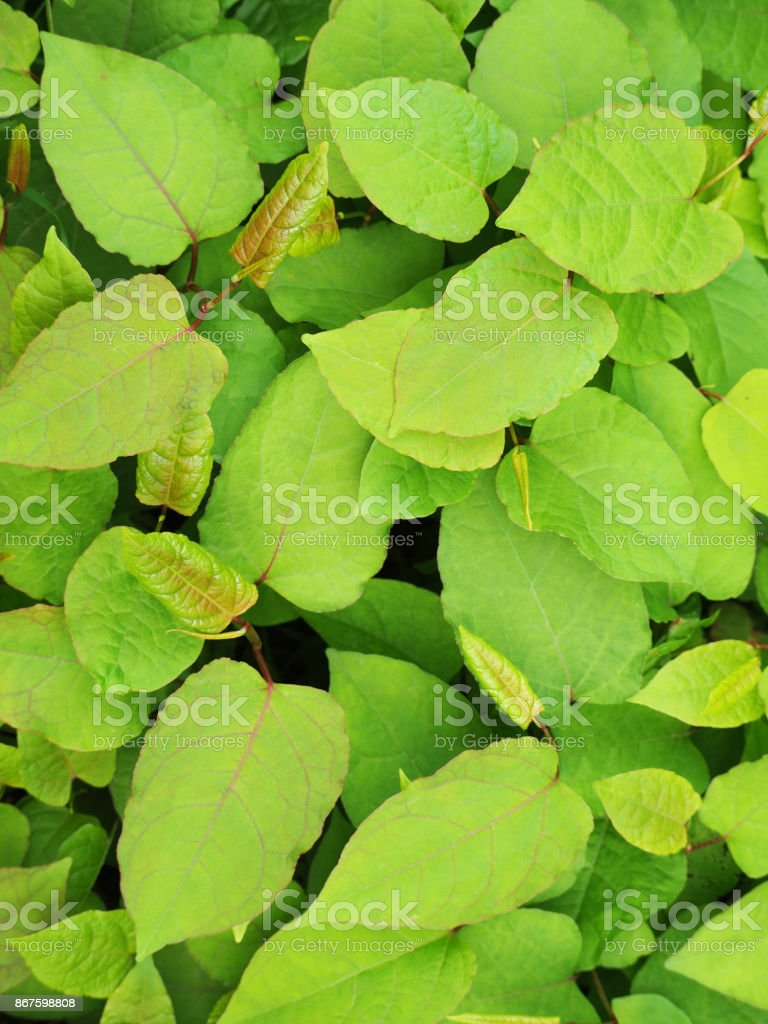 Shoots of Japanese Knotweed, Polygonum cuspidatum, Fallopia japonica stock photo
