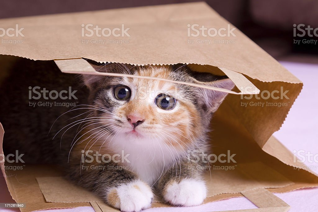 shopping kitten three colored striped  kitten looks out of paper bag Animal Stock Photo