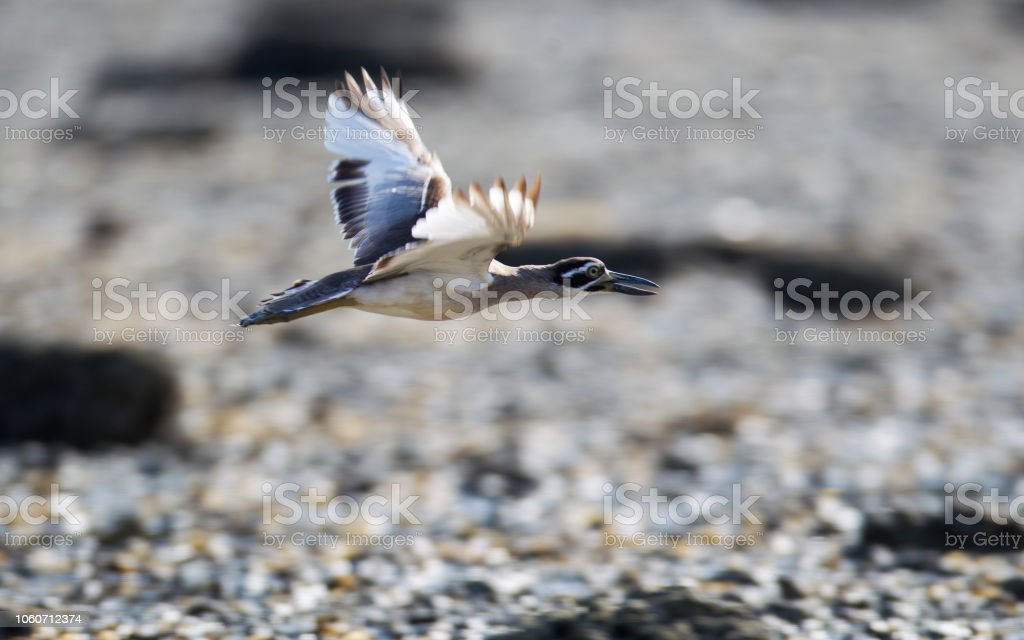 Closed up adult Beach stone-curlew or beach thick-knee , low angle...