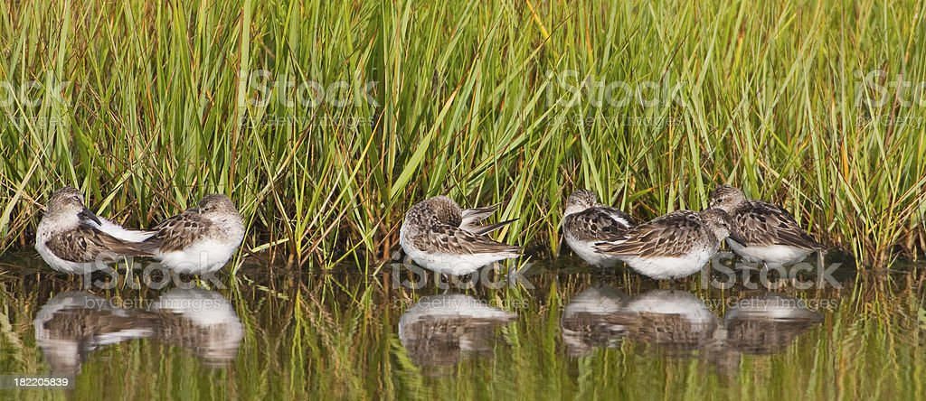 Shore birds in wetland royalty-free stock photo