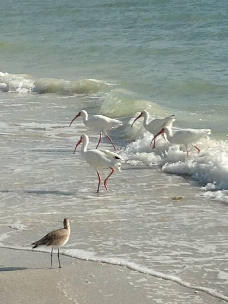 Shore Birds Of A Feather stock photo