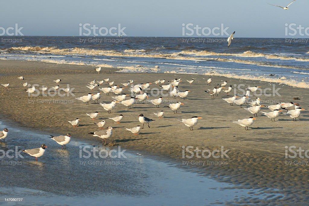 Shore Birds royalty-free stock photo