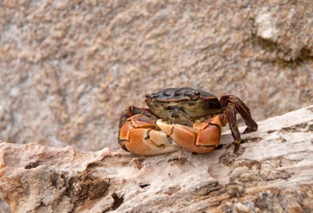 Shore Crab On Driftwood stock photo