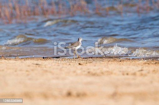 Wildlife photo of a shorebird, beach and waves