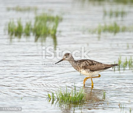 Lesser Yellowlegs wade through the water in Anchorage, Alaska
