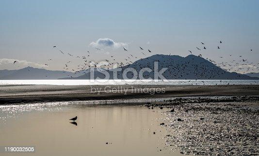 Large flocks of shorebirds on Gustavus Beach in Southeast Alaska on a clear day.