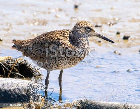 Shorebird on waters edge