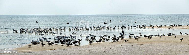 Shorebird Panorama with Pelicans