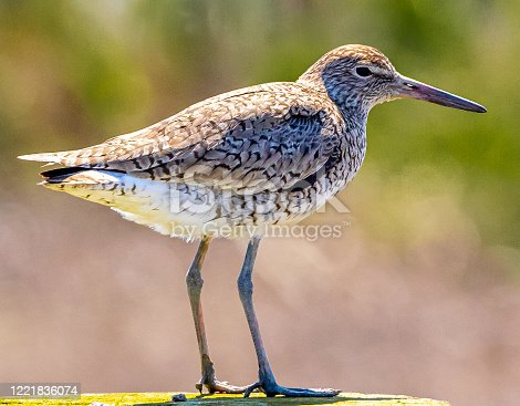 Shorebird perched on ground