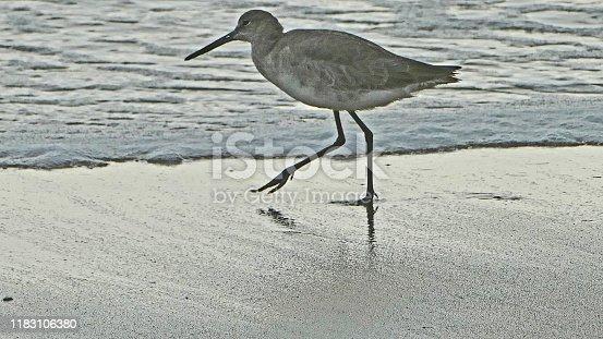 a curlew along the Atlantic seashore, Florida