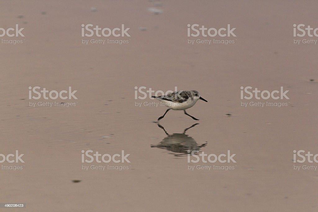 Shorebird stock photo