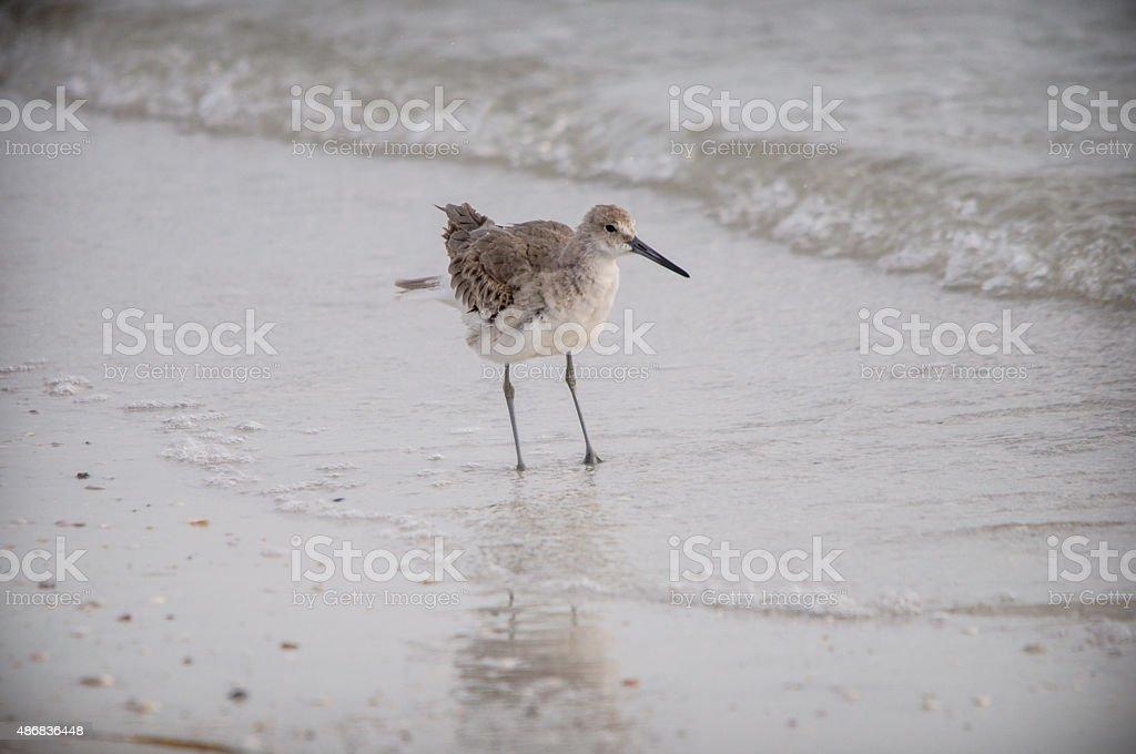 Shorebird Standing stock photo