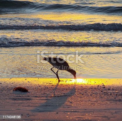 Willet probing sand at sunset