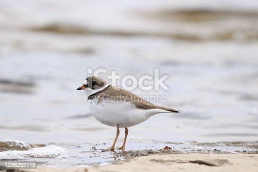 Semipalmated plover shorebird wading in river on rocky shoreline in Canada.