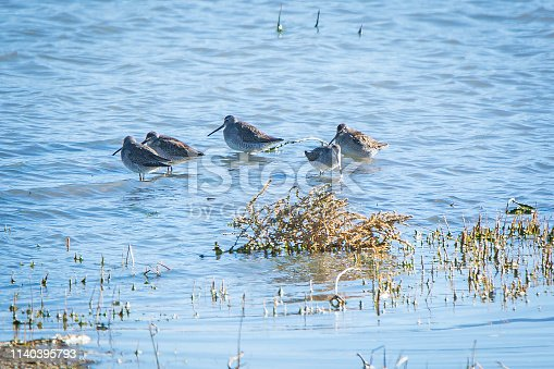 Shorebird wading - believed to be a Long-billed Dowitcher