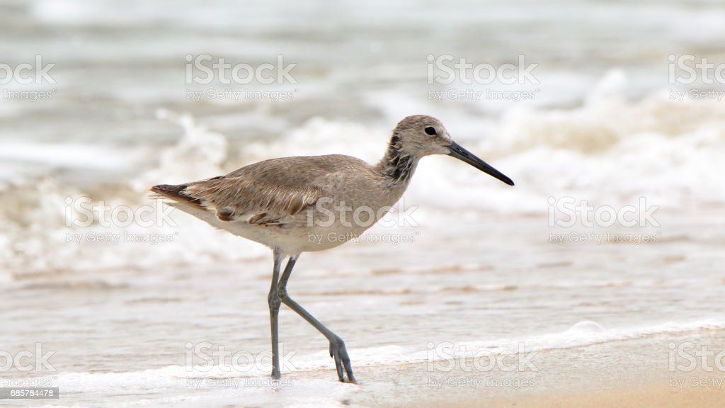 Shorebird (willet) walking in the surf royalty-free stock photo