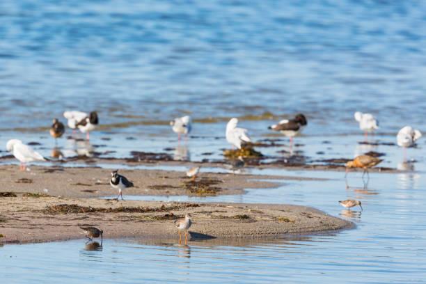 shorebirds 해변의 - 붉은발도요 뉴스 사진 이미지