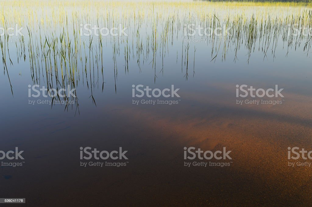 Shoreline of the lake in spring a young cane thickets royalty-free stock photo