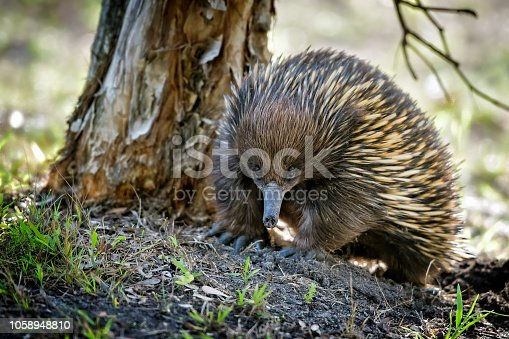 Cute little Echidna walking through the Australian bush