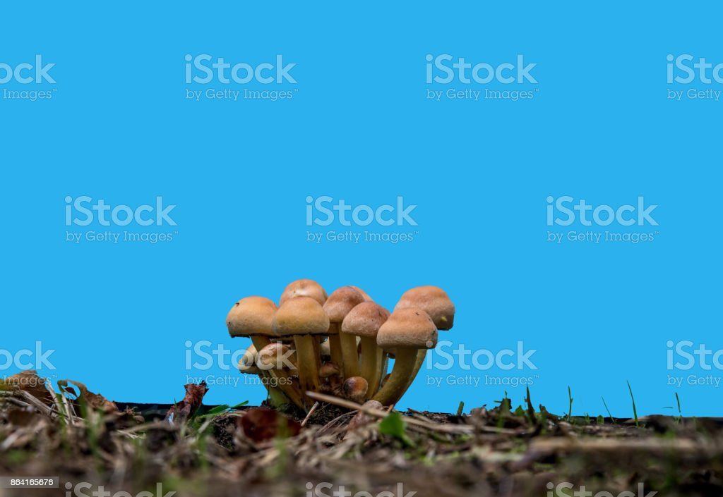 short cream coloreded and brown mushrooms against a blue screen royalty-free stock photo