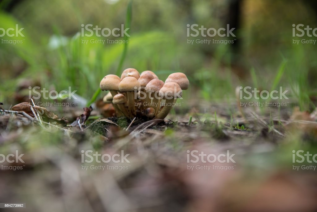short cream coloreded and brown mushrooms royalty-free stock photo