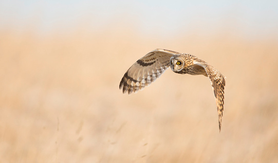 Short Eared Owl Flying Stock Photo - Download Image Now