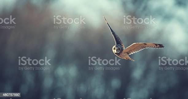 Short eared owl flying picture id480757592?b=1&k=6&m=480757592&s=612x612&h=eovejayhjw68aviv0o8yymhfhufl7jbsvccooleqln4=