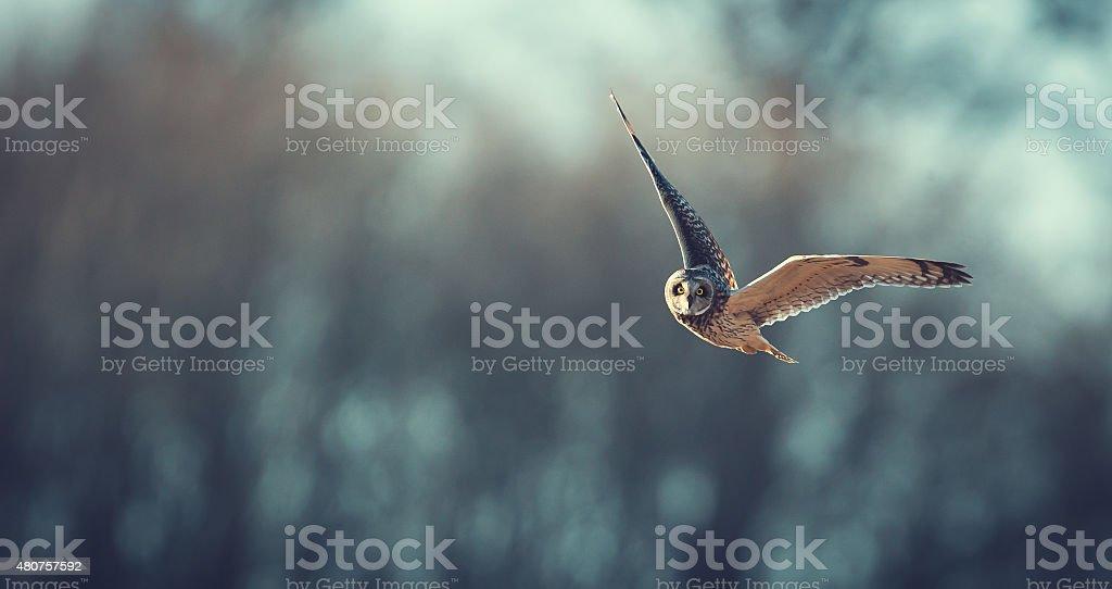 short eared owl flying stock photo