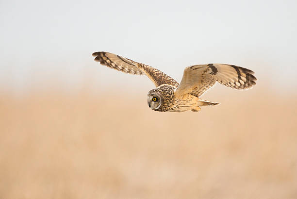 Short Eared Owl Hunting At Dawn stock photo