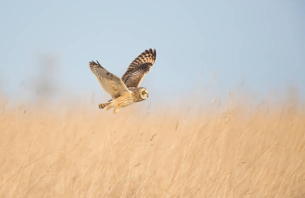 Short Eared Owl hunting in open grassland. stock photo