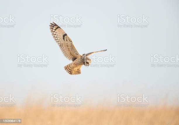Short eared owl hunting in open grassland picture id1203964178?b=1&k=6&m=1203964178&s=612x612&h=tdwtcivmn4o1h6pxibrjvfplmq5m7bmv sbswfsqmtk=