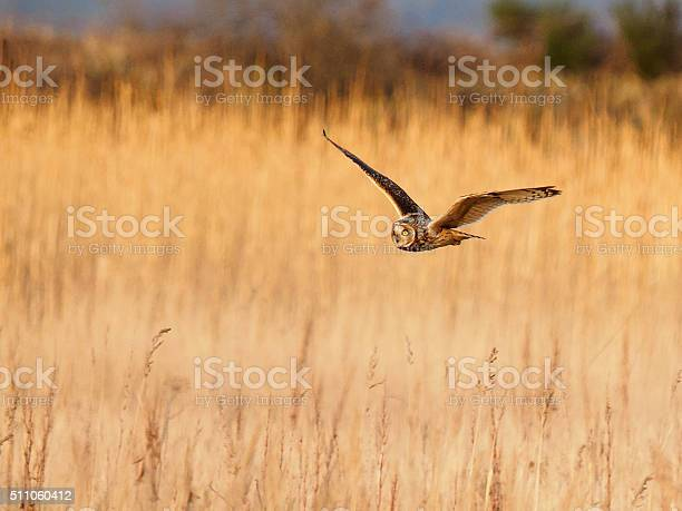 Short eared owl hunting picture id511060412?b=1&k=6&m=511060412&s=612x612&h= btxpgpaww6qcee3go9ubldbxxfuyruadwsxubyvn8s=