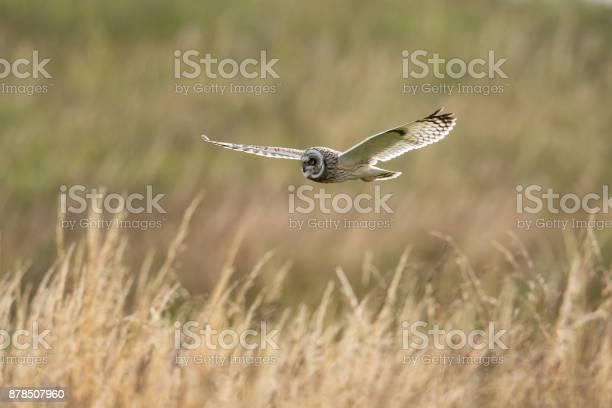 Short eared owl in flight picture id878507960?b=1&k=6&m=878507960&s=612x612&h=hwj11j5gvkmn3qomvhwtuhgnmktlk48birgnpgoh4gq=