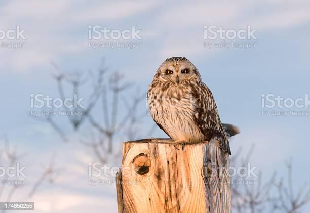 Short eared owl in winter picture id174650255?b=1&k=6&m=174650255&s=612x612&h=pp6b 9l1pig5omxzrs44mkagidnve rlbxqm fx3ueo=