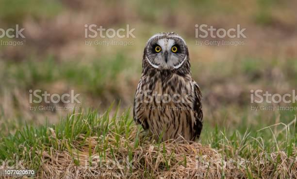 Short eared owl picture id1077020570?b=1&k=6&m=1077020570&s=612x612&h=dvgav7nundud 7vzyguqa1jlln3co2kiffrusnhy0nq=