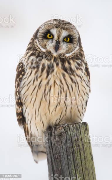 Short eared owl picture id1165568071?b=1&k=6&m=1165568071&s=612x612&h=d8fr1tefhvuznq81wzb0p iw rysscqao 1qk3olrs8=