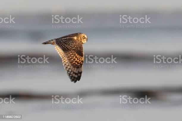 Short eared owl picture id1189622502?b=1&k=6&m=1189622502&s=612x612&h=zr8ywf k3lkmbm7wm9qpcuu1snofydmigphftzgv 7q=