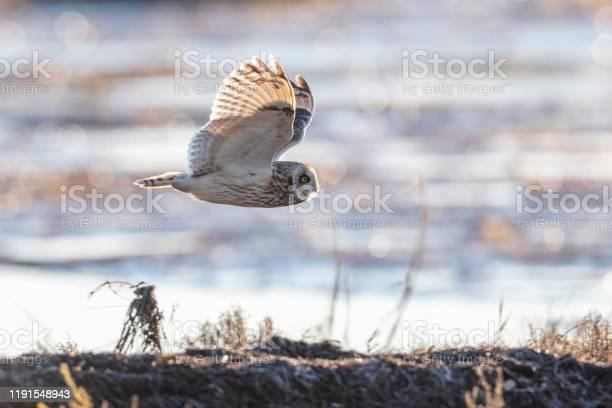 Short eared owl picture id1191548943?b=1&k=6&m=1191548943&s=612x612&h=07c5t92vog1qqxm00cf7vi5glze0qeavxiwts6nmnwo=
